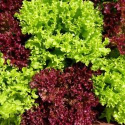 Alface roxa orgânica - maço