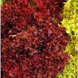 Alface crespa roxa orgânica maço