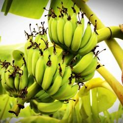 Banana verde Orgânica