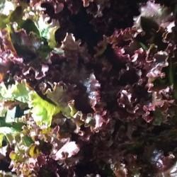 Alface crespa roxa orgânica - maço