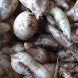 Batata yacon orgânica - 500g